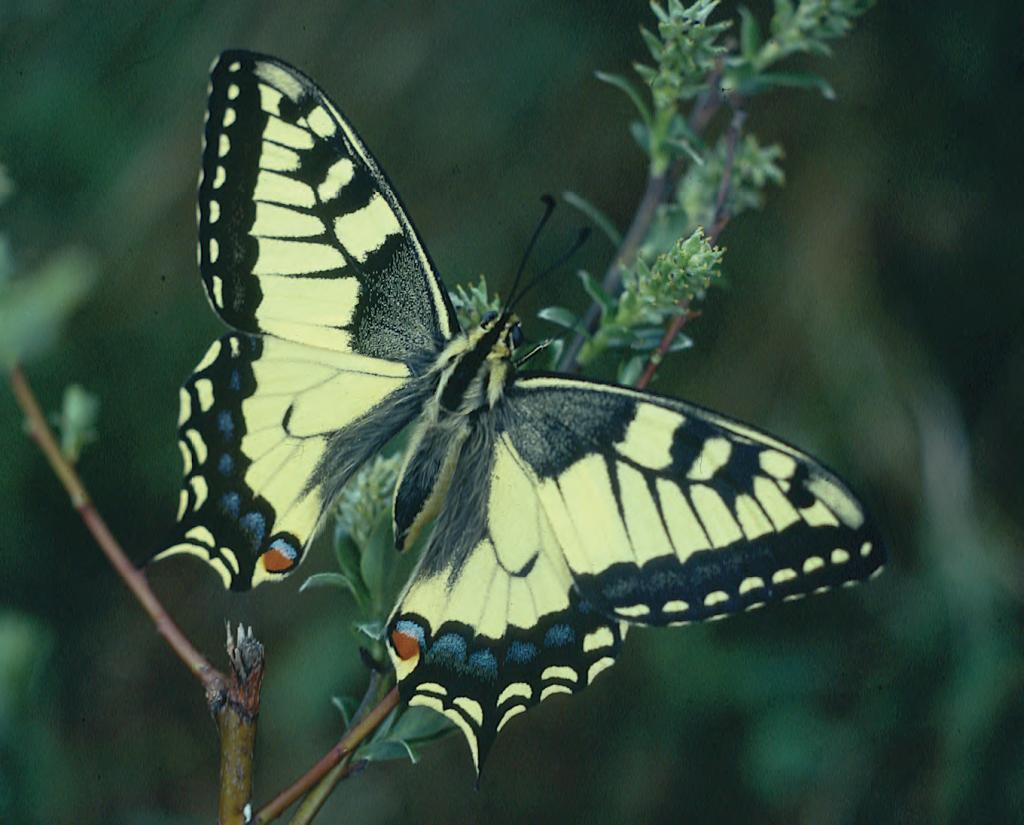 Hur länge lever en fjäril